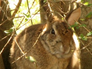 wild brown bunny licking lips